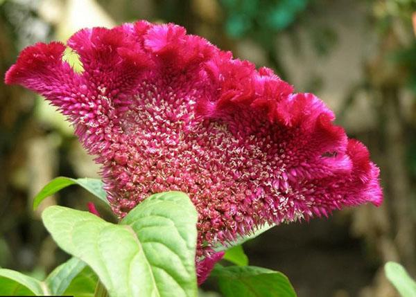 گل تاج خروس
