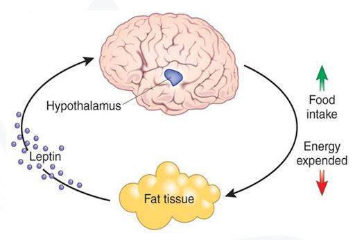 کاهش وزن با لپتین